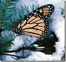 blog images - monarch in snow