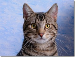blog images - American shorthair cat