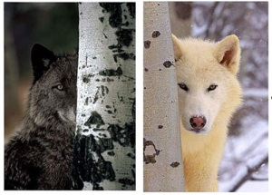 blog images - two wolves
