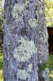 Tree covered with lichen, Northern Wisconsin